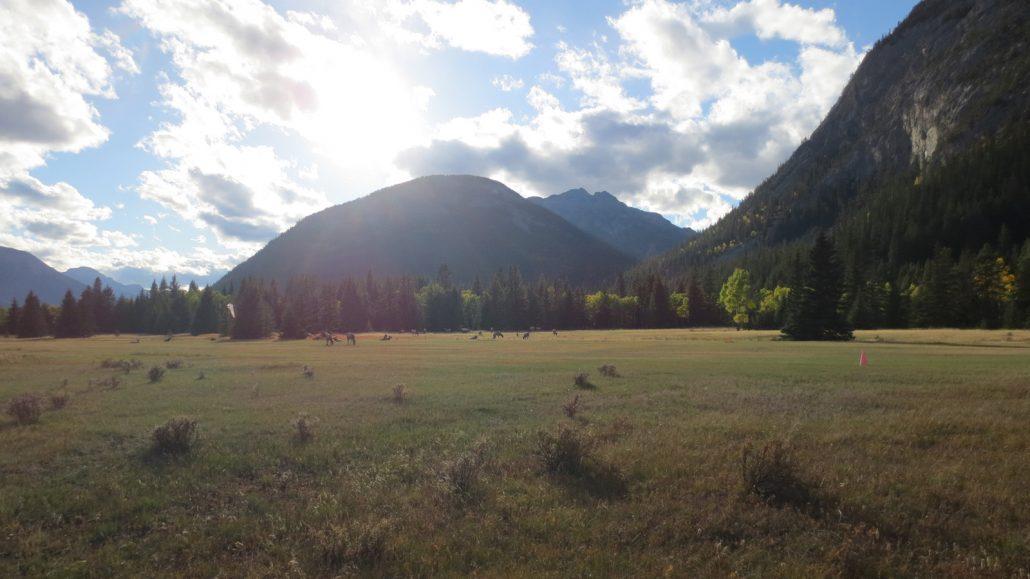 elk everywhere in banff